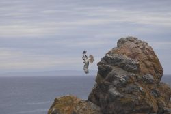 A young red-tailed hawk flying near the rocks at Point Piedras Blancas. Photo