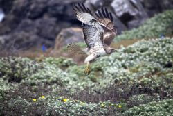 Red-tailed hawk swooping near the ground at Point Piedras Blancas. Photo
