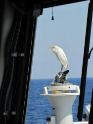Cattle egret blown lost offshore perched on compass stand alidade Photo