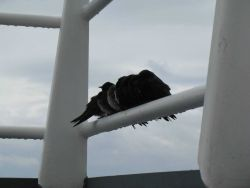 A flock of small shorebirds taking refuge on the NOAA Ship PISCES. Image