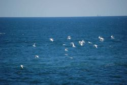 A flock of Forster's ? terns in flight Photo