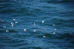 A flock of Forster's ? terns in flight Image