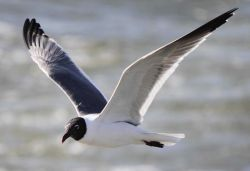 Laughing gull in flight Photo