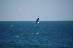 Second cycle laughing gull in flight Photo