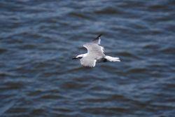 Tern in flight Photo