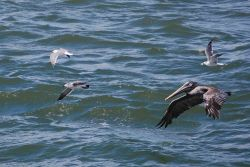 Seagulls and pelican in flight. Photo