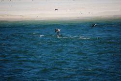 Pelicans fishing Photo