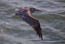 Pelican in flight seen from right side Photo