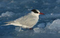 Juvenile Arctic tern (Sterna paradisaea) Photo