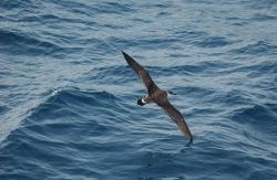 Greater shearwater (Puffinus gravis) in flight Photo