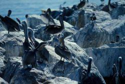 California brown pelicans (Pelecanus occidentalis) on a rock at Pacific Grove. Photo
