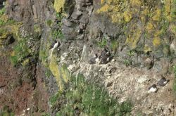 Common murres nesting on a cliff Photo