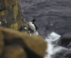 Common murre nesting on a cliff Photo