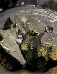 Parakeet auklets and yellow lichen on the rocks. Photo