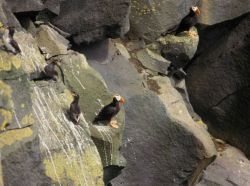 One parakeet auklet, two crested auklets, and two tufted puffins. Photo