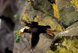 A tufted puffin in flight Photo