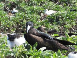 Frigate bird with chick Photo