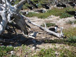 Sooty terns nesting Photo