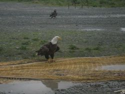 Noble eagles picking for garbage on fishnets. Photo