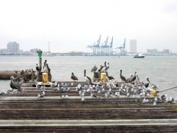 Pelicans and gulls share a pier. Photo