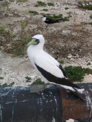 Masked booby. Photo