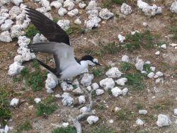 Sooty tern (Sterna fuscata). Photo