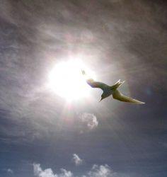 Fairy tern (Gygis alba) framed in the sun. Photo