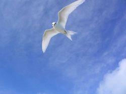 Fairy tern (Gygis alba). Photo
