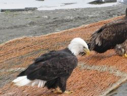 Bald eagle looking for pickings from fish net. Photo