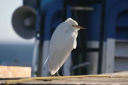 A cattle egret on the NOAA Ship DAVID STARR JORDAN. Photo