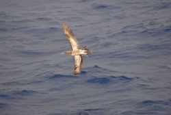 Booby in flight. Photo