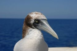 Booby up close and personal. Photo