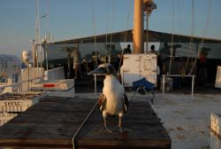 Booby taking a rest on the stern of the DAVID STARR JORDAN Photo