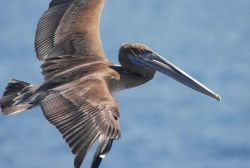 Magnificent brown pelican in flight. Photo