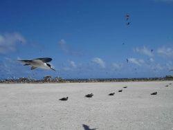 Sooty tern in flight Photo