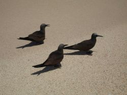 Brown noddies Photo