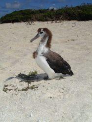 Laysan albatross chick Photo