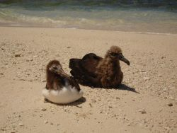 Albatross chicks Photo