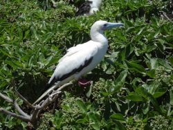 Red-footed booby Photo