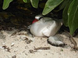 Red-tailed tropic bird Photo