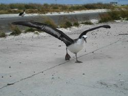 An albatross taking off from the Midway runway Photo