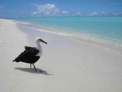 A Laysan albatross contemplating the ocean Photo