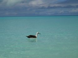 A Laysan albatross cooling off with a refreshing dip in the aquamarine waters of Midway Island. Image