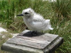 A white tern chick, hardly indicative of the beautiful bird that it would become Image