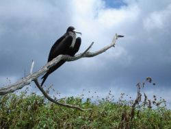 Female great frigatebird Photo