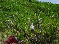 White tern chick Photo
