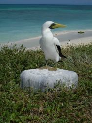Masked booby Photo