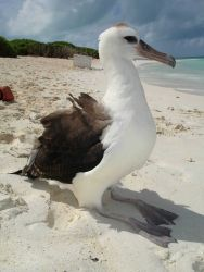 Albatross chick on the beach Image