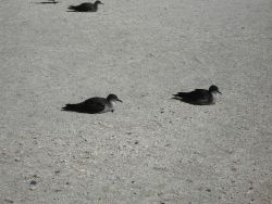 Wedge-tailed shearwaters Photo