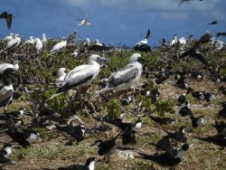Red-footed boobies and sooty terns Photo